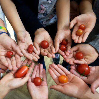 Pomidorų auginimas mokykloje: štai ką gali iniciatyva!