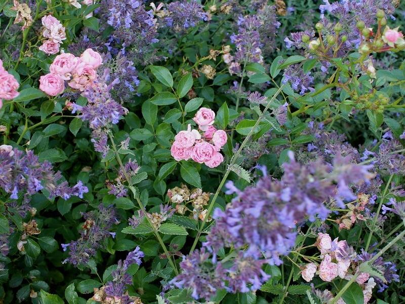 Rožės derinamos su kitais daugiamečiais augalais