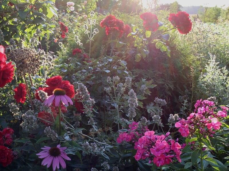 Rožės ir ežiuolės bei kiti augalai sukuria harmoningą vaizdą