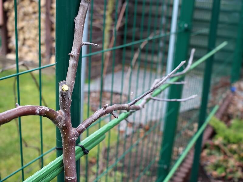 obelų formavimas kardonais genėjimas