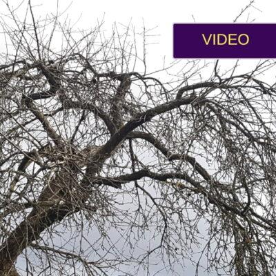 Senos obels genėjimas: tolesnė priežiūros instrukcija