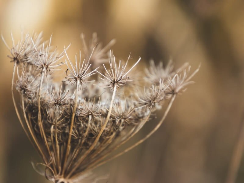 Dantikrapštis Ammi visnaga Gėlės puokštėms