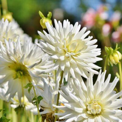 Gėlės puokštėms – ką užsiauginti specialiai skynimui