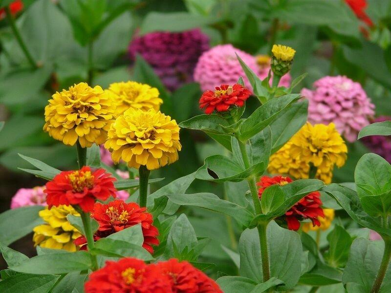 Gvaizdūnė gėlės puokštėms