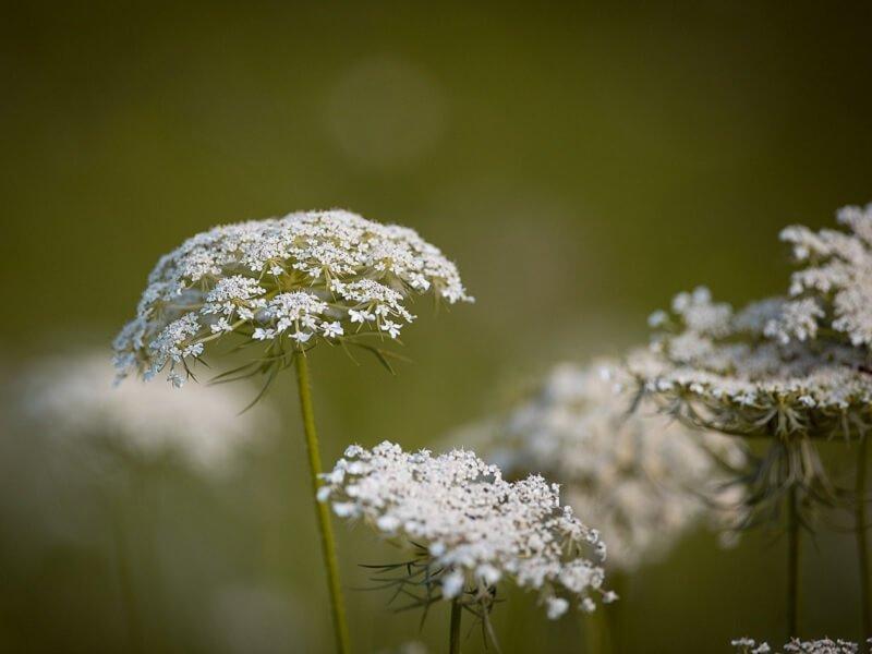 Laukinė morka gėlės puokštėms