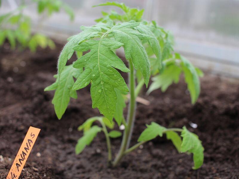 Pomidorus sodinant guldant, jų šaknys užima daugiau vietos. Nuotr. L.Liubertaitė