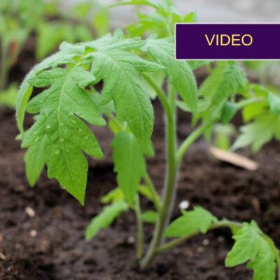 Pomidorų sodinimas į šiltnamį guldant: kodėl ir kaip tas daroma