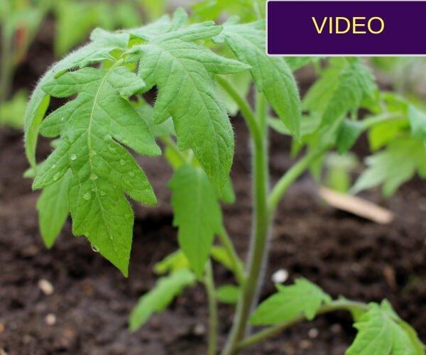 pomidorų sodinimas į šiltnamį guldant
