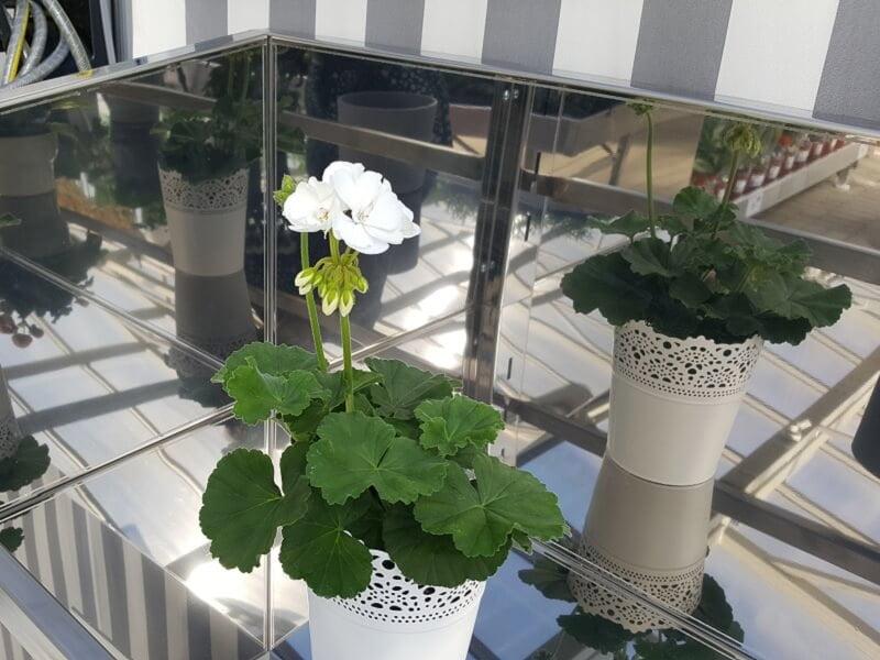 Balkoninės gėlės metaliniame vazone. Nuotr. L.Liubertaitė
