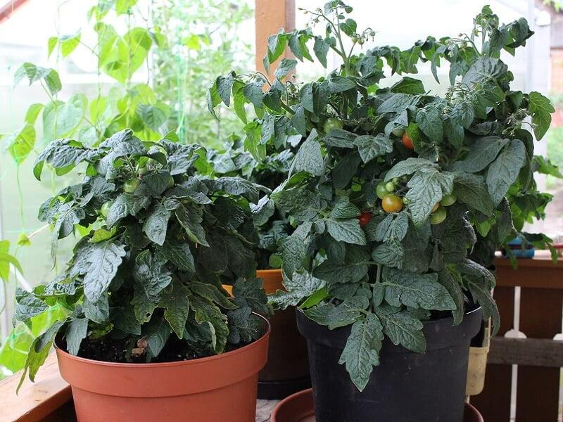 Determinantiniams pomidorams genėjimas gali būti reikalingas tik dėl higienos palaikymo. Nuotr. L.Liubertaitė