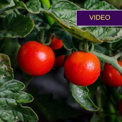 Pomidorai, kurių nereikia genėti