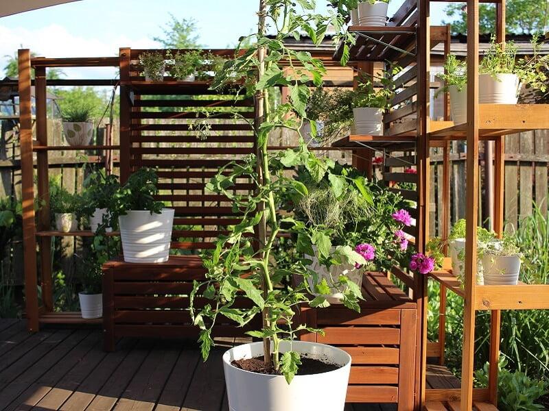Auginu pomidorą 'Vilma'. Nuotr. L.Liubertaitė