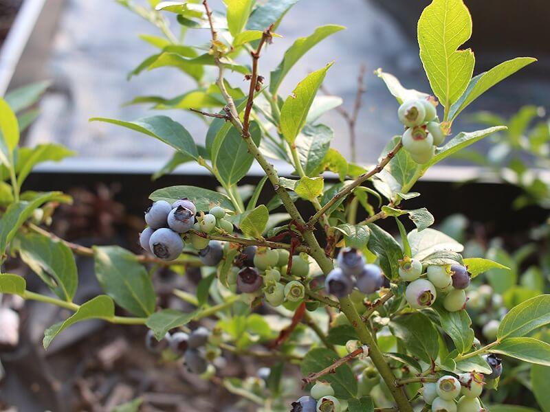 Rūgšiamėgiams augalams galima lengvai pakeisti gruntą. Nuotr. L.Liubertaitė