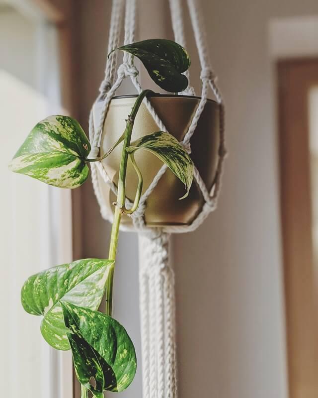 Skindapas. Makrame augalams