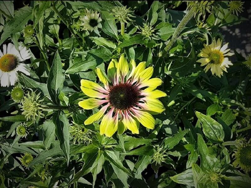 Vasarą žydinčios daugiametės gėlės ežiuolė. Nuotr. L.Liubertaitė