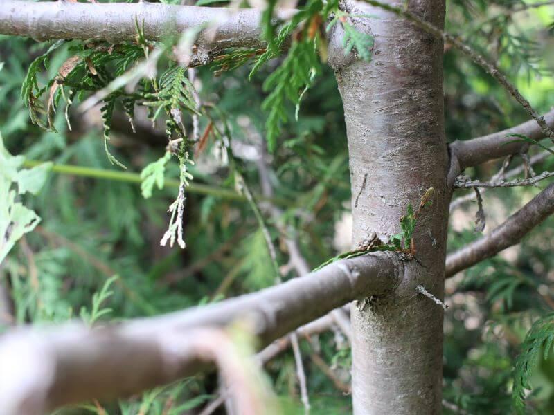 Tujų gyvatvorės formavimas. Jaunos žalios šakelės – įrodymas, kad stipriai apgenėta tuja vėl atžels. Nuotr. L. Liubertaitė