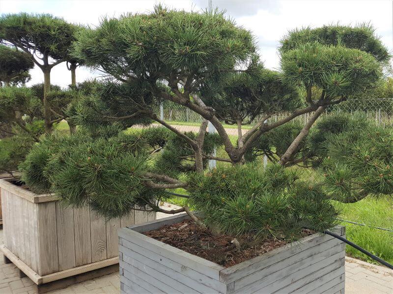Pušų veislės. Formuota pušis paprastoji (Pinus sylvestris) 'Repens'. Lėtai auga, tad ir ilgiau išlaiko savo formą. Kaina – apie 1700 Eur. Nuotr. L. Liubertaitė.
