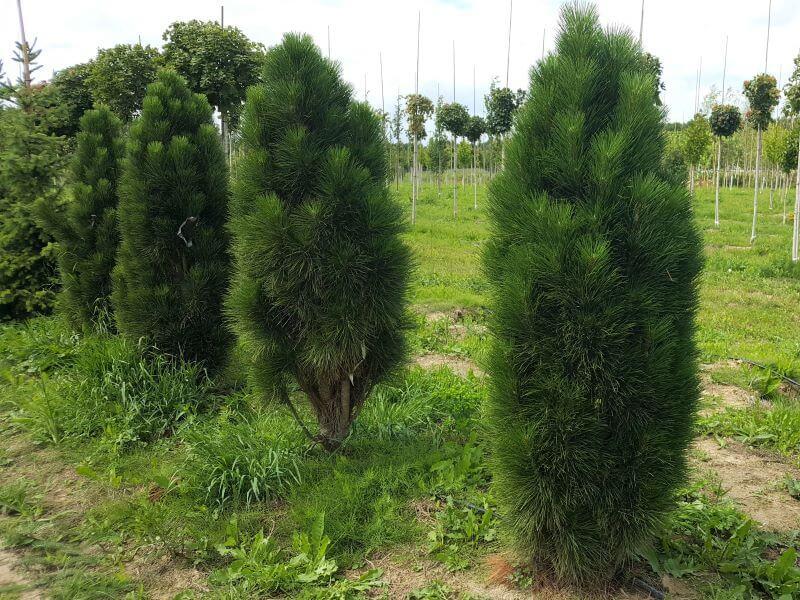 Koloninė pušis – pušis juodoji (Pinus nigra) 'Green tower'. Nuotr. L.  Liubertaitė
