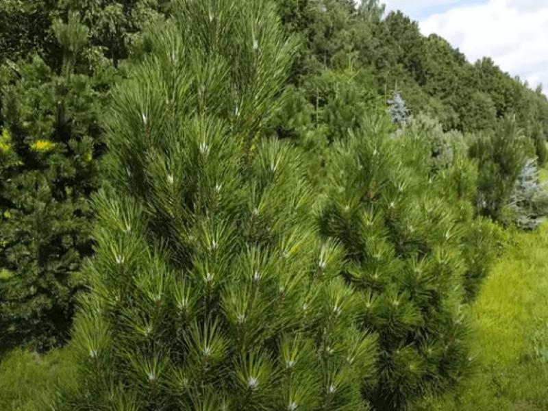 Pušis juodoji (Pinus nigra) 'Pyramidalis'. Koloninė juodoji pušis yra kompaktiška ir gana glausta, todėl idealiai tinka mažuose kiemuose. Nuotr. L.  Liubertaitė
