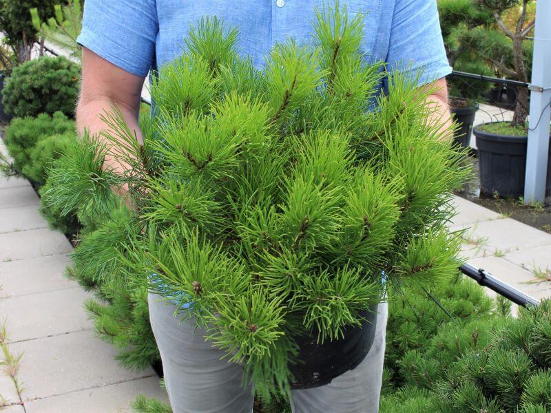 Pušis kalninė (Pinus mugo) 'Pumilio'. Nuotr. L. Liubertaitė