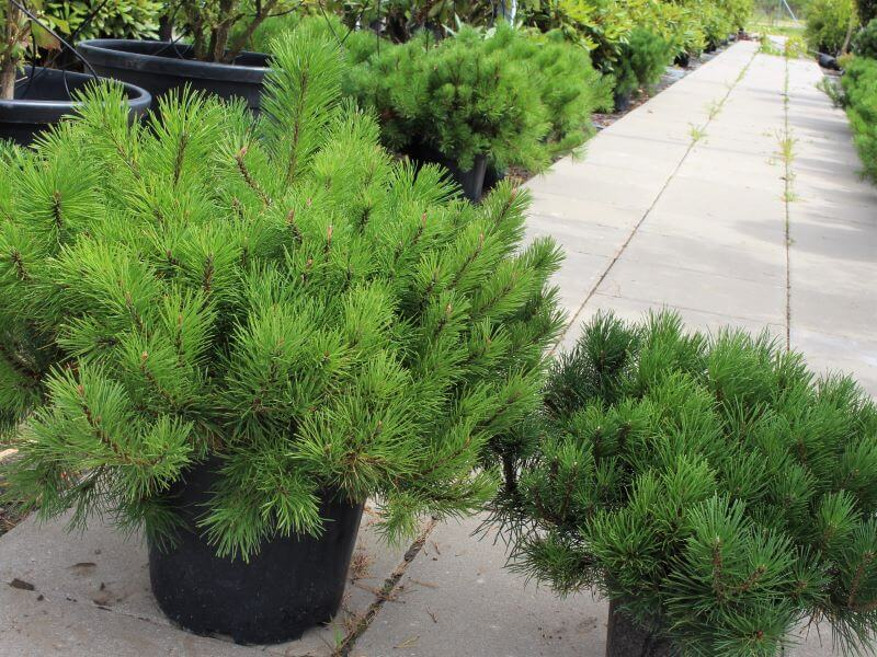 Pušų veislės. Kalninės pušies sodinukai: dydis, vešlumas ir formavimas lemia kainų skirtumą. Nuotr. L. Liubertaitė