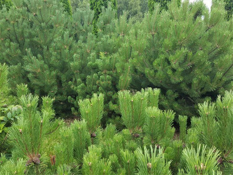 Pušų veislės. Pušis kalninė (Pinus mugo). Plačios ir tankios kalninės pušys itin tinka formuojant didelio kiemo kraštovaizdį. Puikiai tarnauja ir kaip užuovėja. Nuotr. L. Liubertaitė