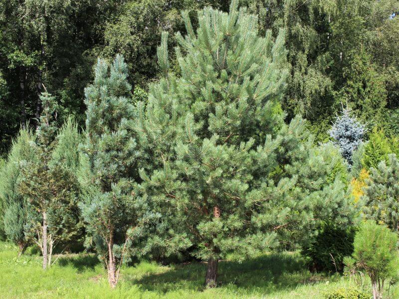 Pušis paprastoji (Pinus sylvestris). Nuotr. L. Liubertaitė.