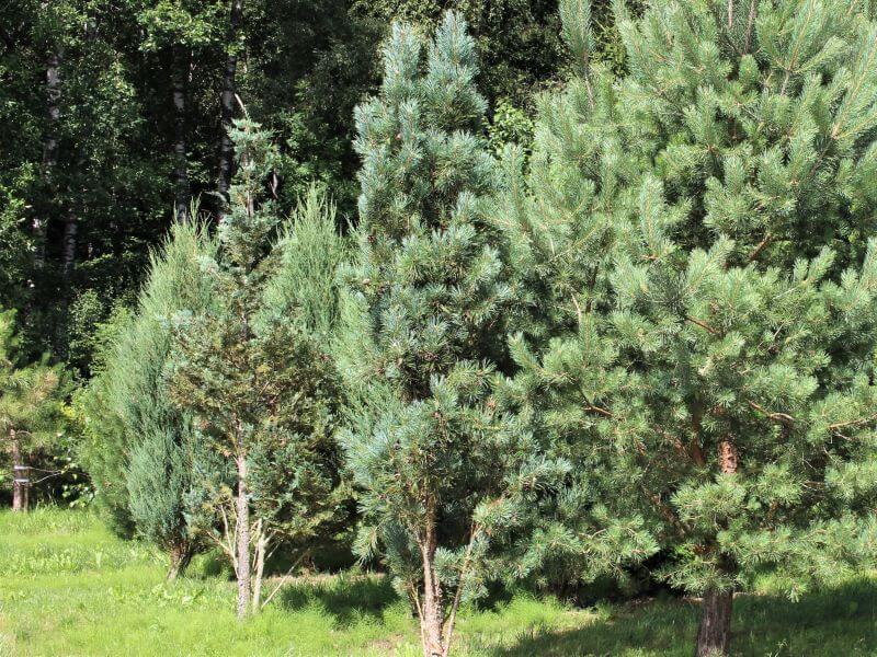 Nuotraukos centre – koloninė pušis paprastoji (Pinus sylvestris) 'Fastigiata'. Ji gerokai glaustesnė ir kompaktiškesnė nei paprastoji pušis, matoma nuotraukos dešinėje. Nuotr. L.  Liubertaitė