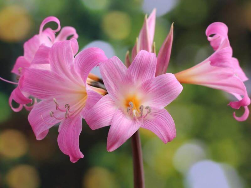 Dailioji amarilė (Amaryllis Belladonna) žydi vasarą ir tik rožiniais žiedais.