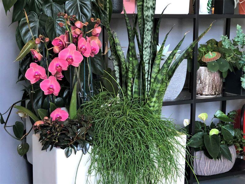 Orchidėjos ir žalialapių kambarinių augalų kompozicija – stilingas interjero akcentas. Nuotr. S. Pranaitė