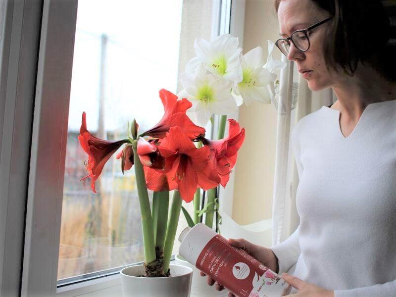 Aktyviuoju augalo augimo metu kas savaitę ar dvi palaistykite amarilį žydintiems augalams skirtomis trąšomis. Nuotr. L. Liubertaitė