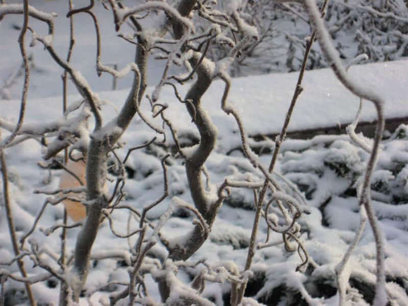 Žiemos augalai Lazdyno šakų voratinkliai prikausto dėmesį ir kursto vaizduotę