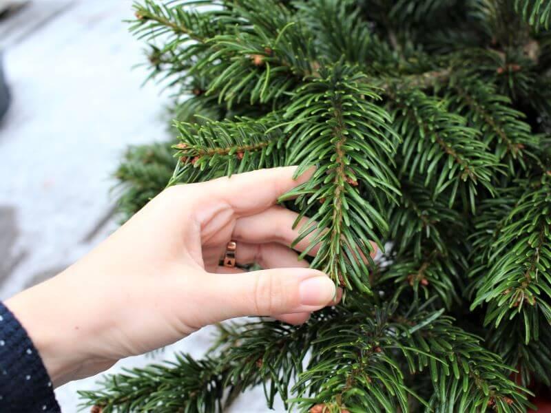 Kalėdų eglutė Jei eglutė sveika, jos šaknys nepažeistos ir gauna užtektinai drėgmės, spygliukai yra žali ir blizga. Nuotr. L. Liubertaitė