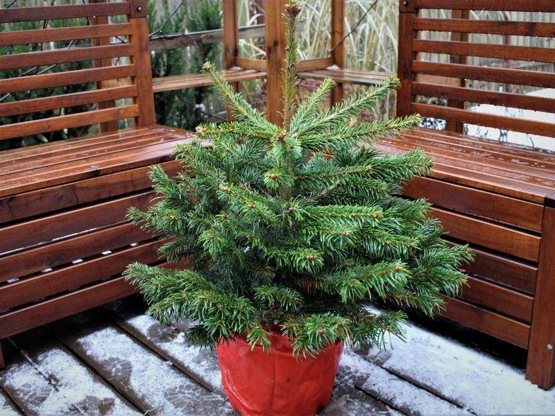 Net visai maža Kalėdų eglutė ilgainiui išaugs į aukštą eglę, tad prieš sodindami, atsakingai parinkite jai vietą sklype. Nuotr. L. Liubertaitė