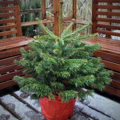 Gyva Kalėdų eglutė: kaip išlaikyti iki persodinimo