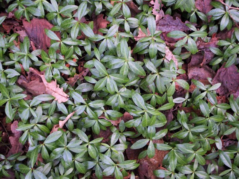 žiemos augalai Blizgūs ir žali žiemės lapeliai. Nuotr. I. Rauckienė
