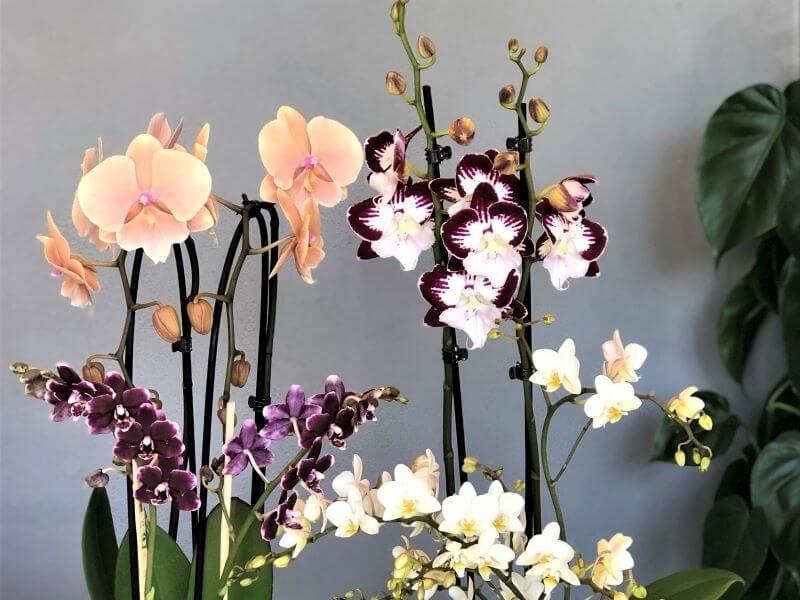 Skirtingų dydžių, formų ir spalvų orchidėjų žiedai tiesiog negali nusibosti. Nuotr. S. Pranaitė