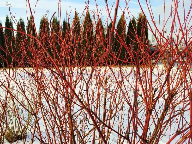 Žiemos augalai Sedula baltoji (Cornus alba) 'Sibirica' ryškiai raudonomis šakelėmis. Nuotr. L. Liubertaitė