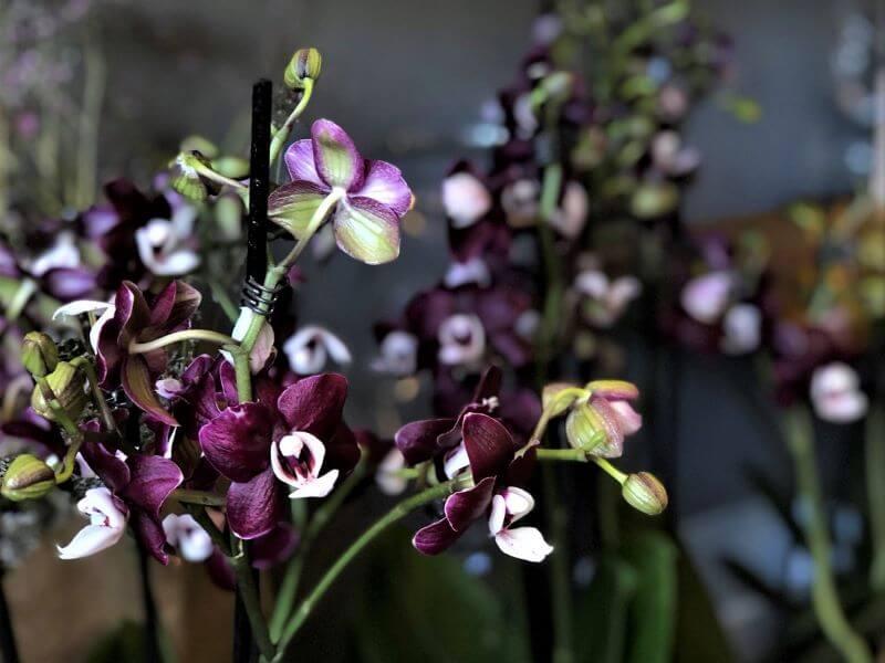 Smulkiais žiedais žydinti orchidėja (falenopsių genties hibridas). Nuotr. S. Pranaitė