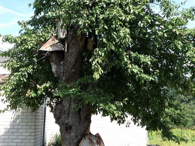 Seniausia Lietuvos obelis vis dar nokina vaisius, nors gyvybingos likusios vos kelios šakos. Senoji Kauno obelis nuo 1960 m. yra saugomas gamtos paveldo objektas. Nuotr. L. Mekionis