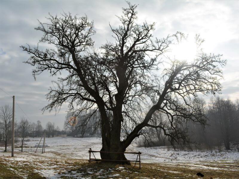 """""""Mieldažinė"""" kriaušė – storiausia Lietuvoje. Taip ji atrodo žiemą. Nuotr. L. Mekionis"""