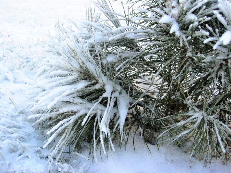 Gausus sniegas ant augalų: pavojinga ar ne? Nuotr. L. Liubertaitė