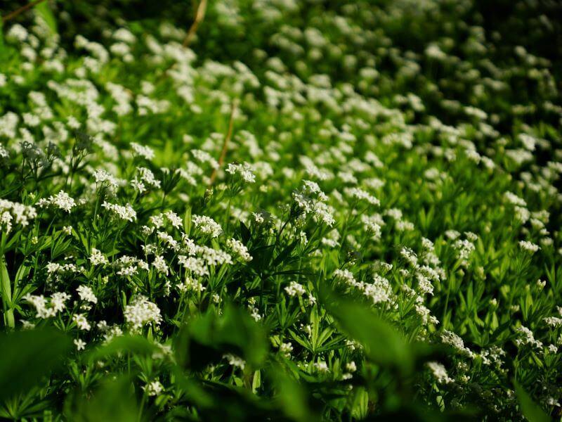Kvapusis lipikas (Galium odoratum) puikiai tiks pavėsyje esančiai gėlyno pusei, po medžiais ar krūmais. Nuotr. V. Marozienė