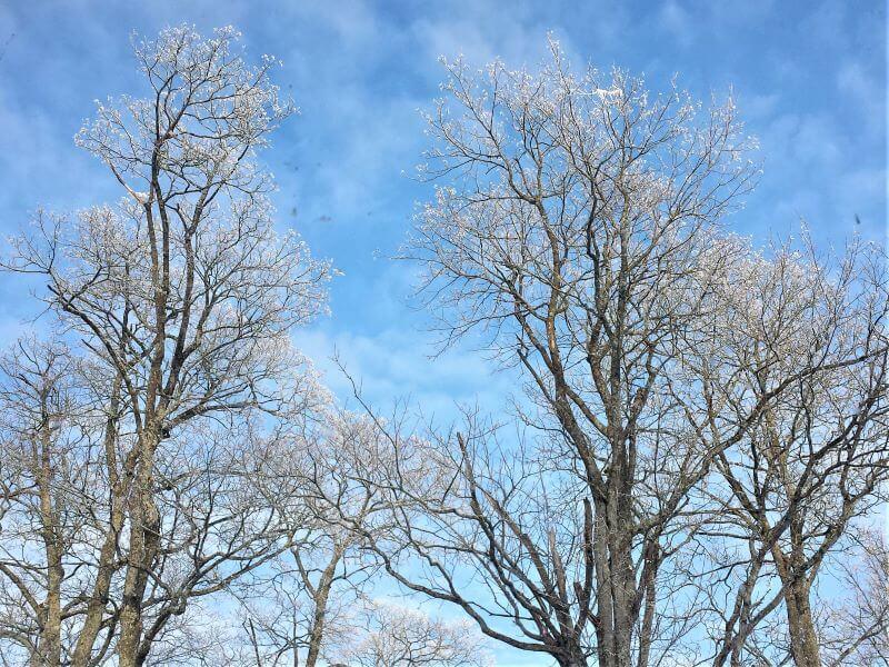 Šlapias sniegas gali būti per sunkus net ir suaugusiems medžiams. Nuotr. L. Liubertaitė