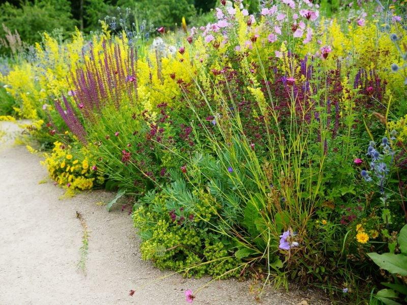 Tikrasis lipikas nuostabiai dera su įvairių spalvų, aukščių ir tekstūrų augalais. Nuotr. V. Marozienė