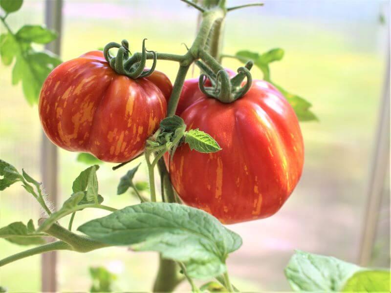 Dryžuotas, papriką savo forma primenantis 'Striped cavern' pomidoras idealiai tinka farširavimui. Nuotr. L. Liubertaitė