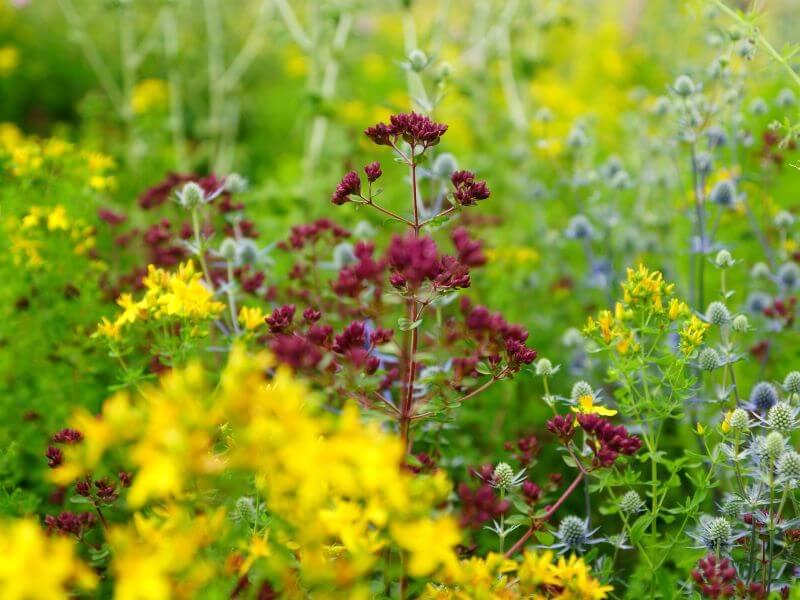 Natūralią pievą primenantis gėlynas – malonumas akims ir nauda gamtai. Nuotr. V. Marozienė