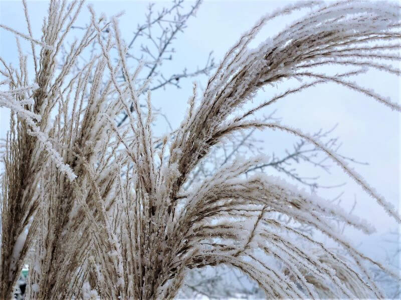 Varpiniai augalai žiemą. Nuotr. L. Liubertaitė