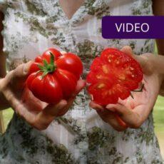 Pomidorų veislės viršelis