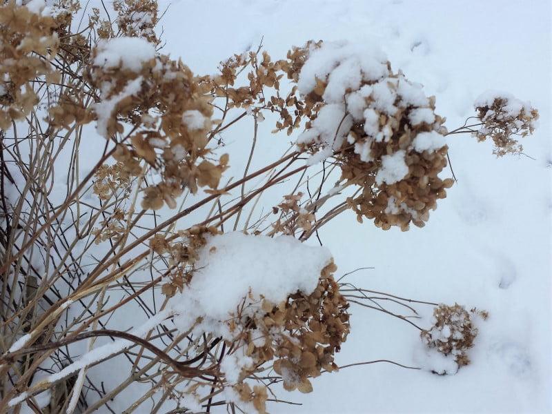 Kad sunkus sniegas nenulenktų šakelių, jas atsargiai nupurtykite. Nuotr. L. Liubertaitė